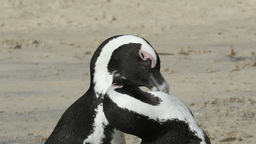 African penguins Footage