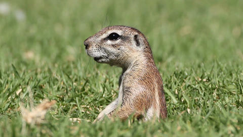 Alert ground squirrel Footage