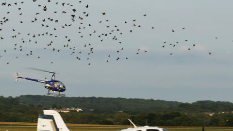 1958 Helicopter lifting off with Hundreds of Birds Footage