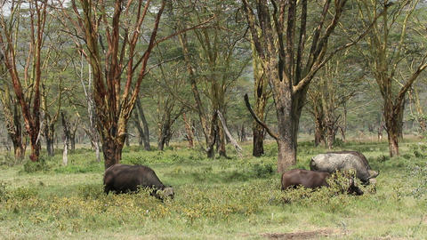 Grazing African buffaloes Footage