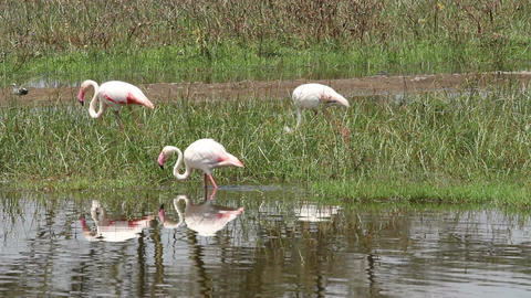 Greater flamingos Footage