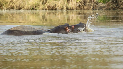 Hippopotamus splashing Footage
