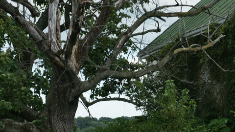 1977 Old Farm House with Dead Tree Being Taken Ove Stock Video Footage