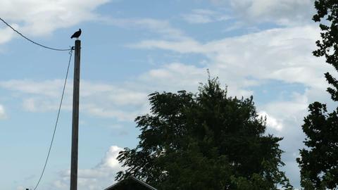 1982 Turkey Vulture on Power Line, HD Footage