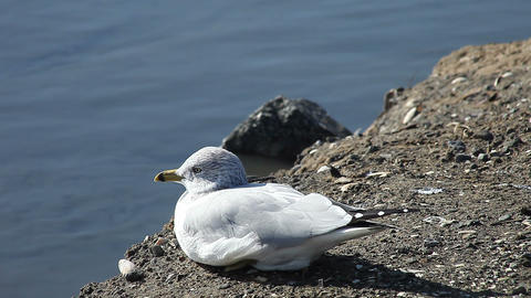seagull resting on shore Stock Video Footage
