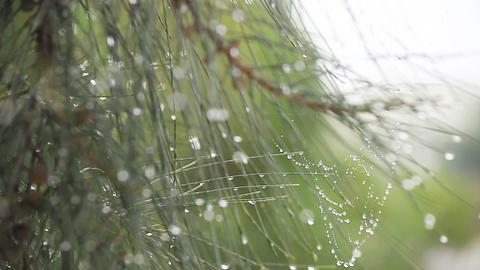 Dew On Pine Needles stock footage