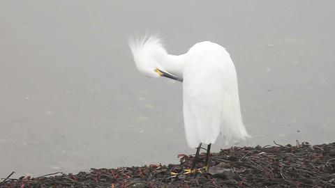 grooming snowy egret Footage