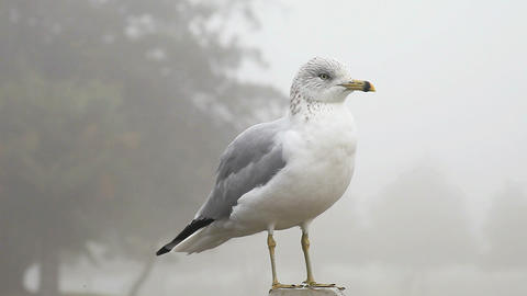 gull at rest Footage