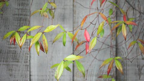 jasmine leaves in autumn Stock Video Footage