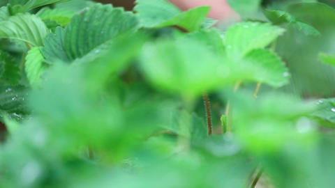 Ripe strawberry Stock Video Footage