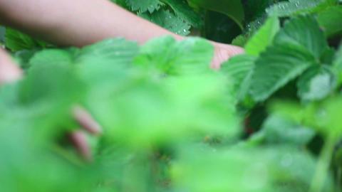 Ripe strawberry Stock Video Footage