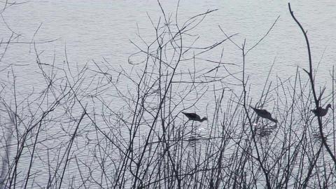 three wading birds Footage