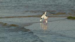 Black-winged Stilt Birds in the Swan River Footage