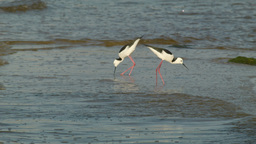 Black-winged Stilt Birds in the Swan River Stock Video Footage