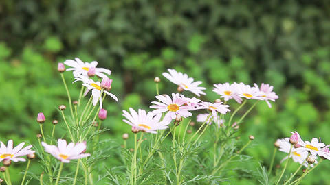 pink daisies Stock Video Footage