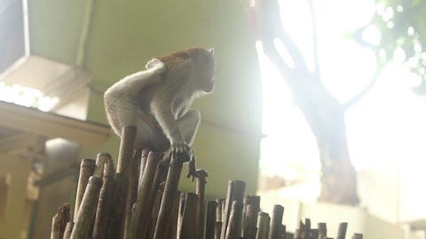 monkey sitting on a bamboo fence Stock Video Footage