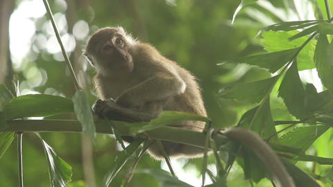 gray monkey sitting on a bamboo branch Stock Video Footage