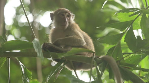 gray monkey sitting on a bamboo branch Footage