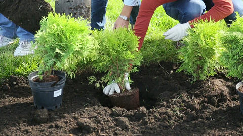Shrub planting Stock Video Footage