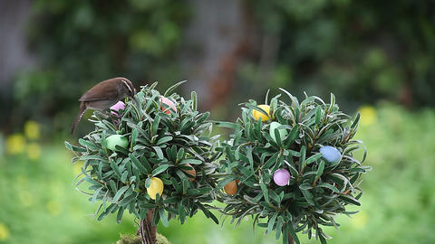 wren on tree with Easter eggs Footage