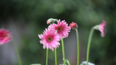 pink gerbera daisies Footage