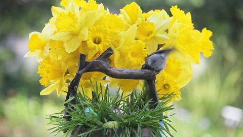 chickadee with Easter eggs and daffodils Footage