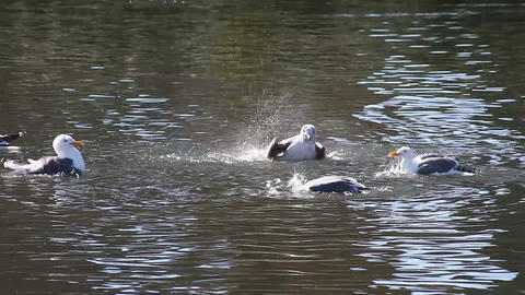 playful seagulls Footage