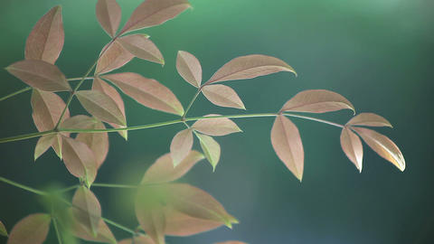 new nandina leaves Stock Video Footage
