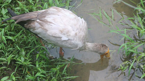 stork walks along the creek Stock Video Footage