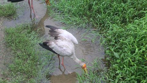 stork walks along the creek Footage