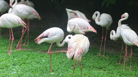 pink flamingo preening its feathers Stock Video Footage