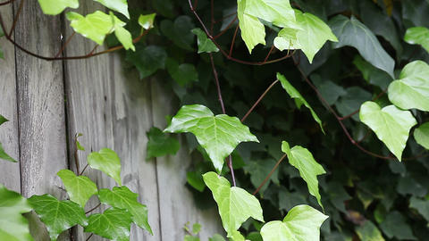ivy on a weathered fence Footage