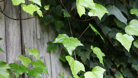 ivy on a weathered fence Stock Video Footage
