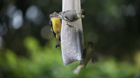 goldfinches fighting Stock Video Footage