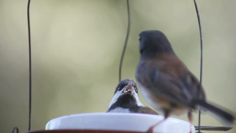 baby chickadee defends food bowl Stock Video Footage