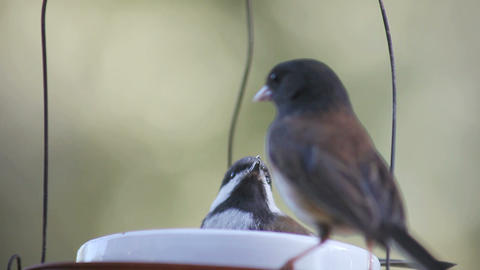 Baby Chickadee Defends Food Bowl stock footage