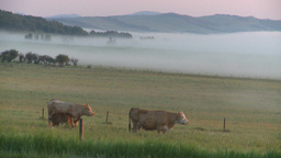 HD2008-7-1-3 sunrise fog cows Stock Video Footage