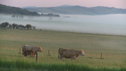 HD2008-7-1-3 sunrise fog cows Footage