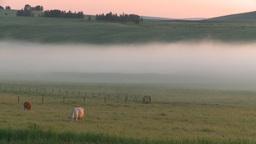HD2008-7-1-7 sunrise fog cows Stock Video Footage
