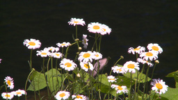 HD2008-7-1-19 flowers Footage