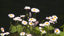 HD2008-7-1-19 flowers Stock Video Footage