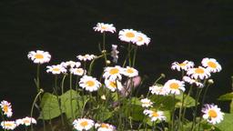 HD2008-7-1-19 flowers Stock Video Footage
