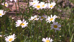 HD2008-7-1-23 flowers Stock Video Footage