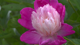 HD2008-7-2-3 flowers peonies Stock Video Footage