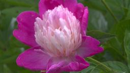 HD2008-7-2-3 flowers peonies Stock Video Footage