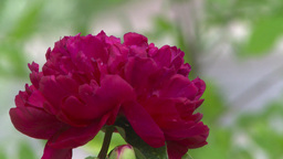 HD2008-7-2-5 flowers peonies Stock Video Footage