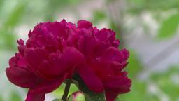 HD2008-7-2-5 flowers peonies Stock Video Footage