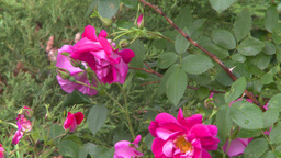 HD2008-7-2-7 flowers wild rose bee Stock Video Footage