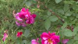 HD2008-7-2-7 Flowers Wild Rose Bee stock footage
