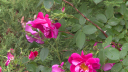 HD2008-7-2-7 flowers wild rose bee Stock Video Footage